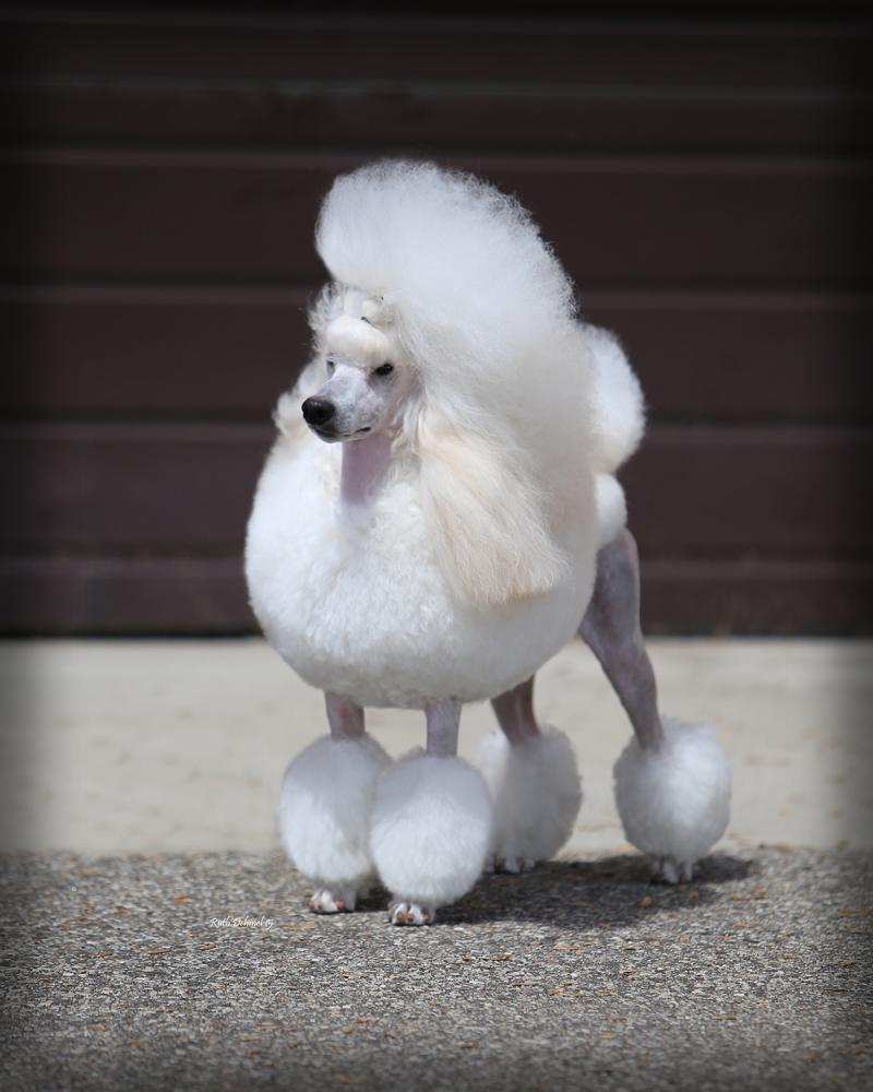 Logos Miniature Poodles Home